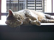 Cat Nap Prints - FotoArt by Jake Cat Siesta Print by Jake Hartz
