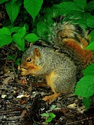 Eastern Fox Squirrel Metal Prints - Found a Peanut Metal Print by Beth Akerman