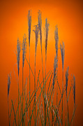 Prairie Grass Originals - Fountain Grass In Orange by Steve Gadomski
