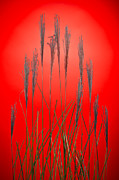 Fountain Grass In Red Print by Steve Gadomski