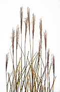 Studio Photos - Fountain Grass In White by Steve Gadomski