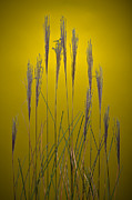 Fountain Grass In Yellow Print by Steve Gadomski
