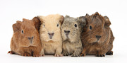Animal Humor Prints - Four Baby Guinea Pigs Print by Mark Taylor and Photo Researchers