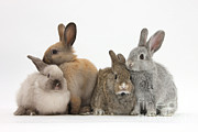 Animal Portraits Prints - Four Baby Rabbits Print by Mark Taylor