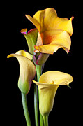 Blossom Photos - Four calla lilies by Garry Gay
