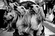 Japanese Dog Photos - Four Dogs in a Stroller by Dean Harte