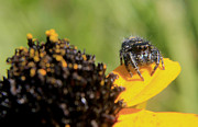 Jumping Spider Photos - Four Eyes by Scott Hovind