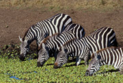 Lettuce Photos - Four for Lunch - Zebras by Sandra Bronstein
