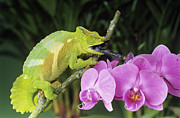 Cameroon Prints - Four Horned Chameleon Print by David Aubrey and Photo Researchers
