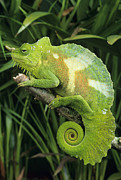 Cameroon Prints - Four-horned Chameleon Print by David Aubrey