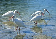 White Birds Photos - Four Ibises by Carol Groenen