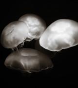 Marilyn Hunt - Four Jellyfish