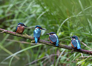 In A Row Art - Four Kingfishers On Branch by Produced by Oliver C Wright