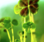 Four Leaf Clover Posters - Four Leaf Clover Poster by Bonnie Bruno