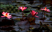 Japanese Village Prints - Four Pink Water Lilies Print by John Wright