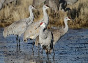 Sand Hill Photo Posters - Four Sandhill Cranes Poster by Sabrina L Ryan