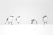 Polar Climate Prints - Four Seagulls In Snow Print by J Broughton Photography