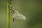 Yellow Dragonfly Posters - Four Spotted Chaser Poster by Andy Astbury