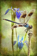 Blue And Brown Posters - Four Spotted Pennant and Louisiana Irises Poster by Bonnie Barry