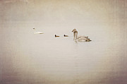 Trumpeter Art - Four Swan Swimming by Blue Mountain Images