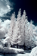 Monochrome Prints - Four Tropical Pines Infrared Print by Adam Romanowicz