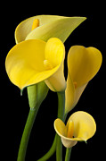 Yellow Photos - Four yellow calla lilies by Garry Gay