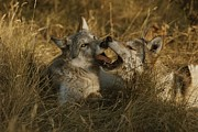 Bonding Metal Prints - Fourteen-week-old Gray Wolf Pups, Canis Metal Print by Jim And Jamie Dutcher