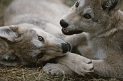 Bonding Metal Prints - Fourteen-week-old Gray Wolves, Canis Metal Print by Jim And Jamie Dutcher