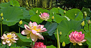 Lotuses Prints - Fourth Of July Lotus Pond view C Print by Byron Varvarigos