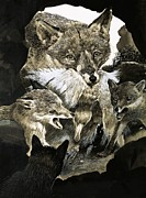 Feed Metal Prints - Fox delivering food to its cubs  Metal Print by English School