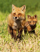 Attentive Framed Prints - Fox Family Framed Print by Mircea Costina Photography