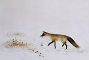 White Prints - Fox in Snow Print by Jane Neville