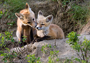 Vulpes Prints - Fox Kits Canada Print by Mark Duffy