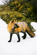 Wild Dog Posters - Fox On Snow Poster by Richard Wear
