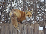 Adrienne Petterson Art - Fox on the Fence by Adrienne Petterson