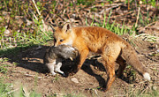 Hunted Photos - Fox pup with prey by Mircea Costina Photography