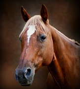 Quarter Horses Prints - Fox - Quarter Horse Print by Sandy Keeton