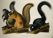 America Drawings Posters - Fox Squirrel Poster by John James Audubon