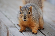 Close Ups - Fox Squirrel by Randy J Heath