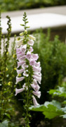 Getty Photos - Foxglove at the Getty by Teresa Mucha