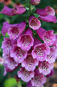 Foxglove Flowers Acrylic Prints - Foxglove Acrylic Print by David Bearden