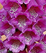 Foxglove Flowers Digital Art Framed Prints - Foxglove Framed Print by Diane E Berry