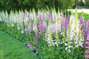 Golden Gate Park Photos - Foxglove Garden by Carol Groenen