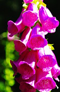 Foxglove Flowers Acrylic Prints - Foxglove In The Sun  Acrylic Print by Jeff  Swan