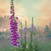 Purple Clouds Prints - Foxglove in Washington State Print by Jeff Burgess