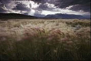 Foxtail Barley Posters - Foxtail Barley Waves In The Wind Poster by Phil Schermeister
