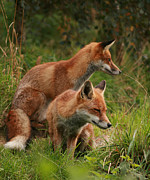 Jacqui Collett Framed Prints - Foxy pair Framed Print by Jacqui Collett