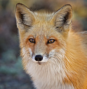 Wildlife Photos - Foxy by Susan Candelario