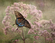 Black Swallowtail Prints - Fragile Print by Dale Kincaid