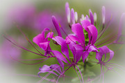 Cleome Flower Framed Prints - Fragile Tropical Flower  Framed Print by Heiko Koehrer-Wagner